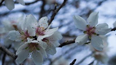 Branches d'amandier en fleur