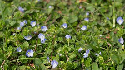 Photo de petites fleurs bleues
