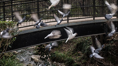 L'envol des pigeons