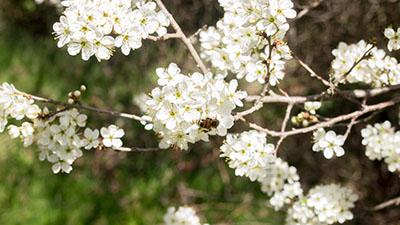 Prunieren fleur