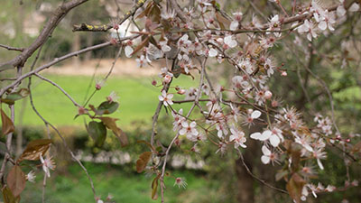 Cerisiers en fleurs au parc de la Torse