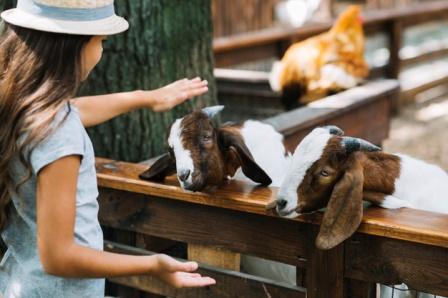 un enfant visite d'une ferme avec des chèvres