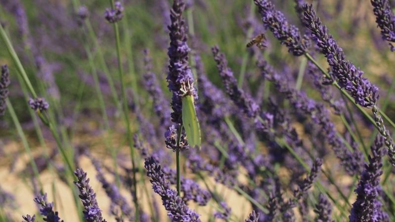 insectes lavandes